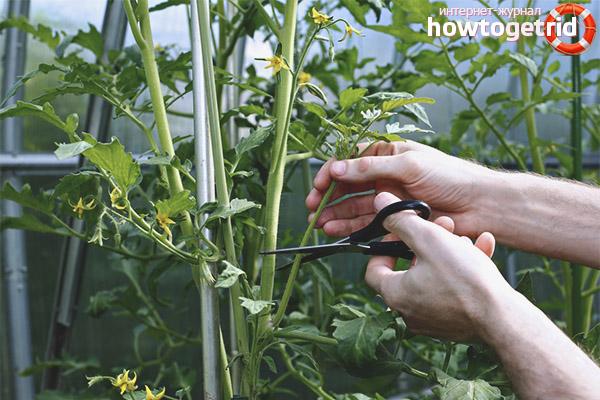 Формирование томатов бабушкин подарок