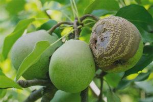 Груши гниют на дереве