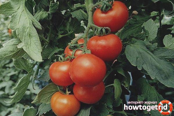 Как получить хороший урожай томатов Гравитет