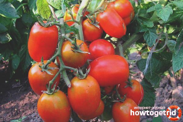 Как правильно выращивать и ухаживать за томатами Даренка