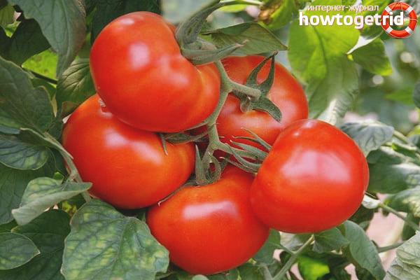 Как выращивать помидоры Василина
