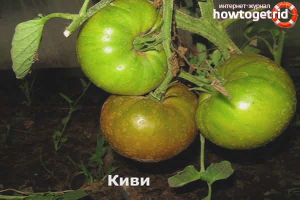 Как выращивать томаты сорта Киви