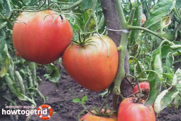 Как выращивать томаты сорта Король Лондон