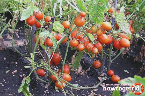 Как вырастить томаты сорта Кмициц