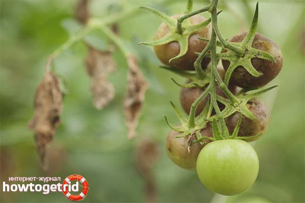 Лечение томатов алешка от болезней