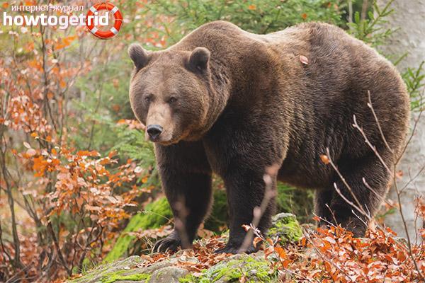 Места обитания бурого медведя