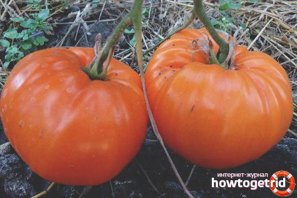 Особенности плодов томатов Золоченый беляш