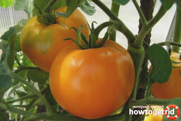 Особенности выращивания томата Дина