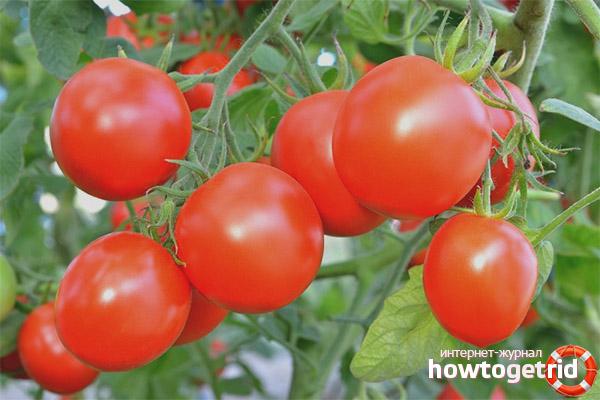 Особенности выращивания томата Какаду F1