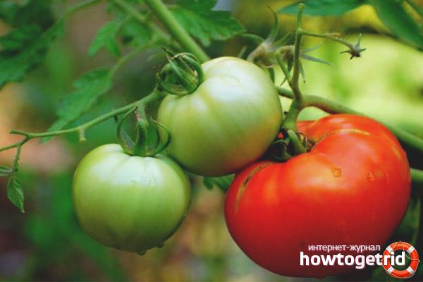 Особенности выращивания томатов Джейн