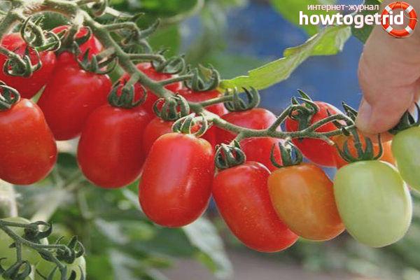Особенности выращивания томатов Комнатный сюрприз