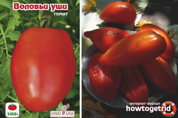 Особенности выращивания томатов Воловьи уши