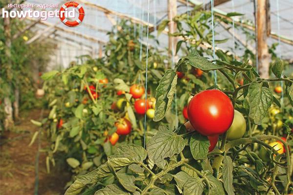 Особенности выращивания томатов Звезда Сибири