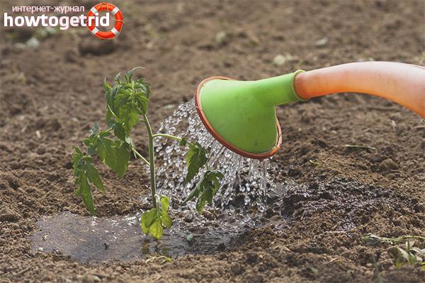 Полив и подкормка томатов Бердский крупный