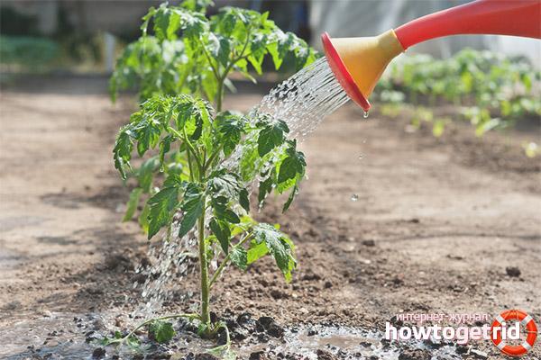 Полив и подкормка томатов Бочата