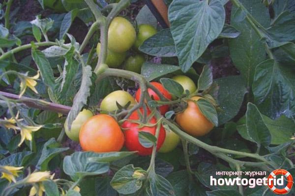 Положительные качества томата Июньский