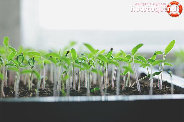 Посадка семян и рассады томатов Верные друзья