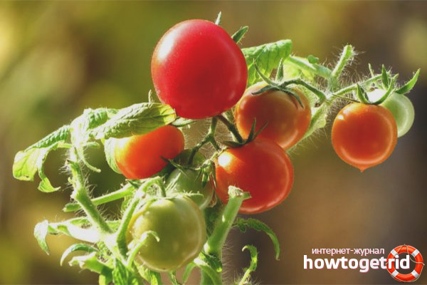 Правила ухода за томатами Жемчужина красная