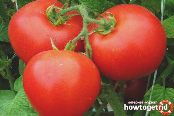 Правильное выращивание томатов Инфинити