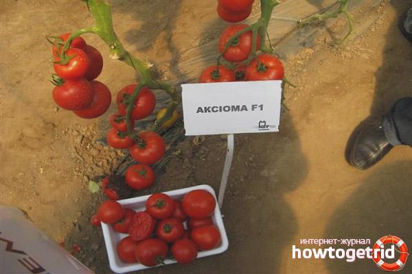 Преимущества сорта томатов Аксиома F1
