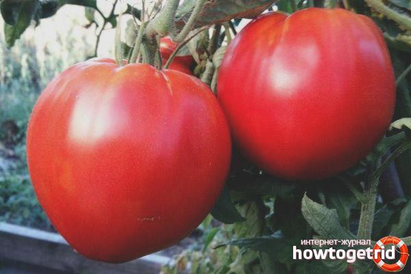 Преимущества сорта томатов Кинг Конг