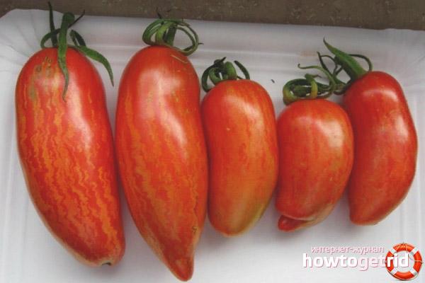 Применение сорта томатов Безумие касади