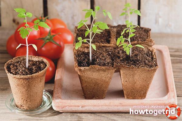 Принцип посадки томатов Грушка консервная