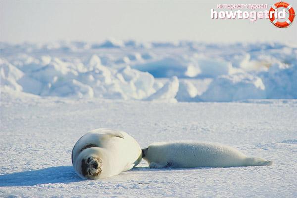 Размножение гренландских тюленей