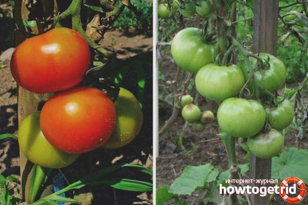 Рекомендации по уходу за томатами Данна