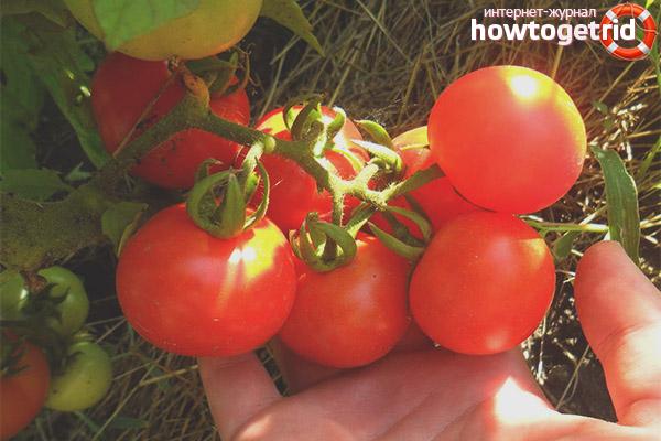 Секреты хорошего урожая томатов аляска