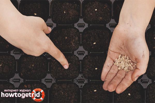 Семена на рассаду томатов Корнеевский