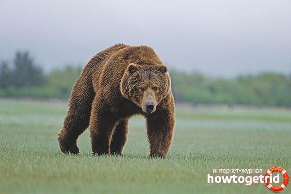 Структура тела бурого медведя