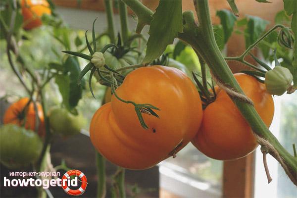 Томат Алтайский оранжевый