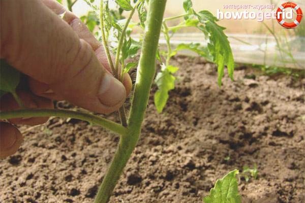 Удаление пасынков у томатов Быстренок