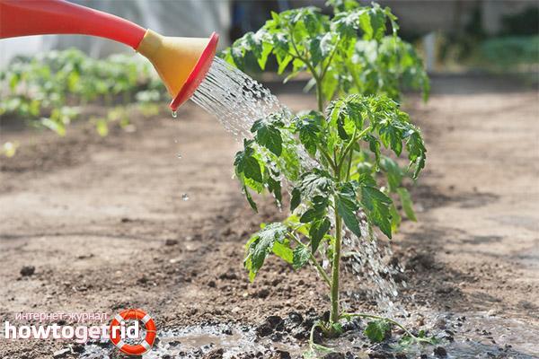 Уход за кустами томатов Барон