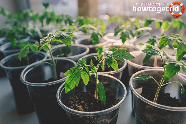 Уход за рассадой томатов аполлон