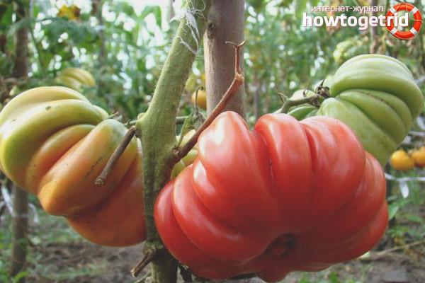 Уход за томатами американский ребристый