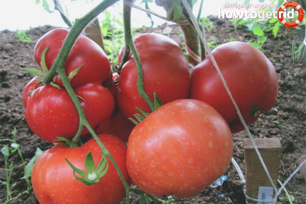Уход за томатами бабушкино лукошко