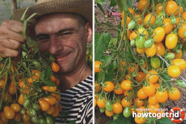 Уход за томатами Ильди