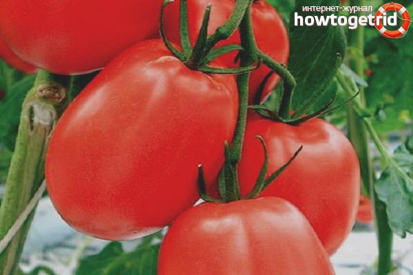 Уход за томатами Кадет