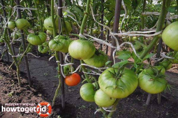 Уход за томатами Казачка