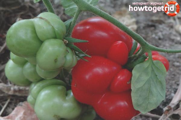 Уход за томатами Вояж