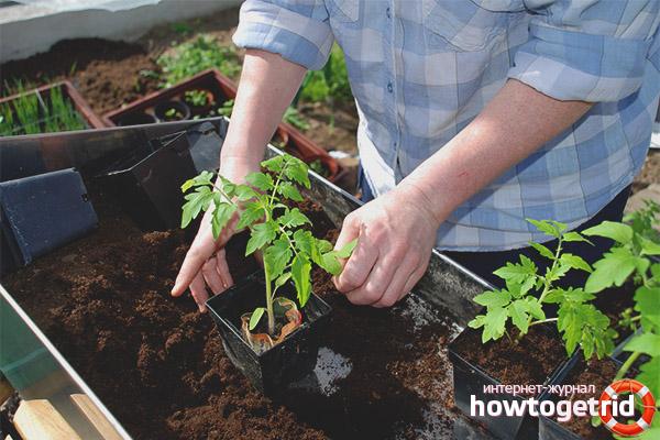 Уход за томатами Золото востока