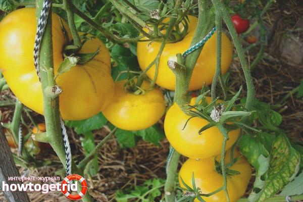 Уход за томатами Золотой бык