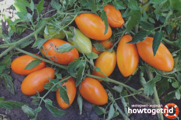 Уход за томатами Золотой поток