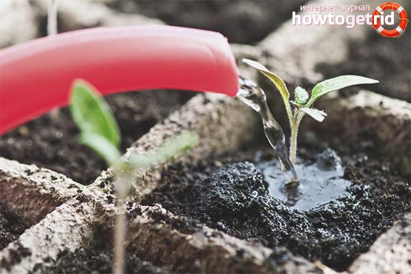 Ухода за рассадой томатов Большая радуга