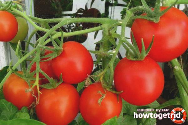 Урожай томатов Григорашик