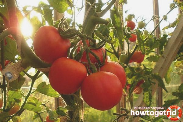 Урожай томатов Изобильный