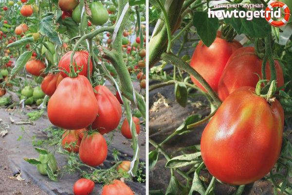 Урожайность томатов Дачные закрома