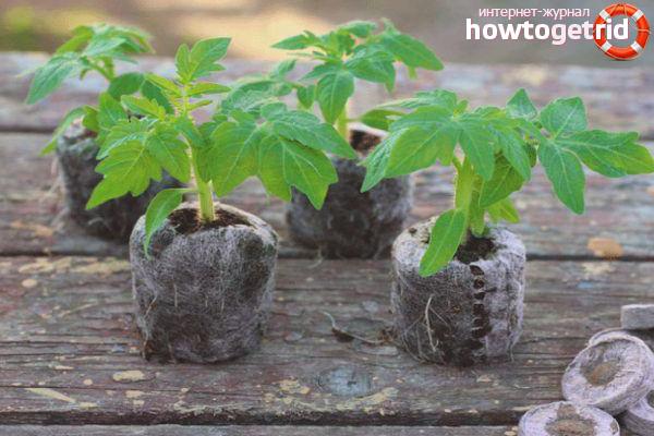 Условия выращивания томатов Государь F1